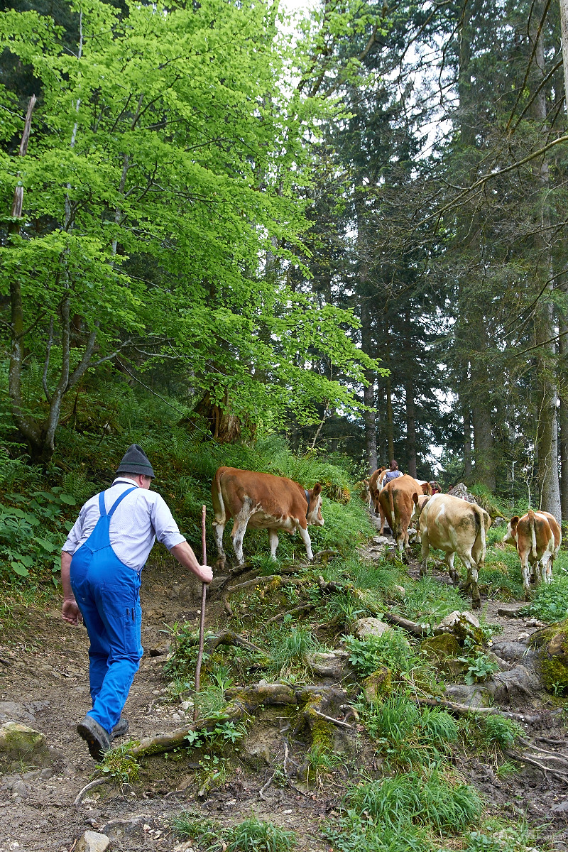 Farmer driving cattle up to the alpine pastures