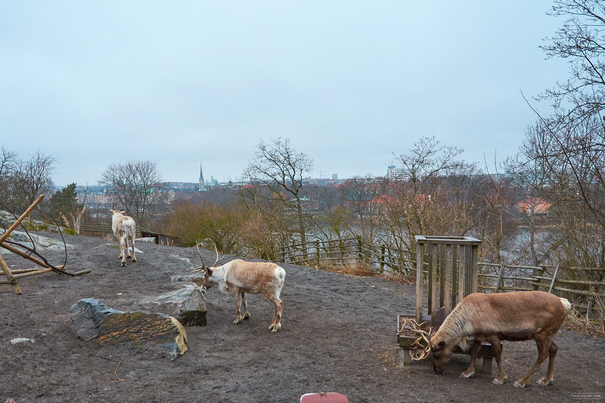 Room with a view? Reindeers @ Skansen and Gamla Stan in the background